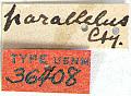 View Stenodontes parallelus Casey, 1912 digital asset number 1