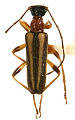View Hapalosalia vibex fragilis Casey, 1913 digital asset number 1