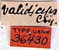 View Prionus validiceps Casey, 1912 digital asset number 1