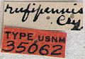 View Stenocorus (Stenocorus) rufipennis Casey, 1913 digital asset number 1