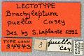 View Brachyleptura puella Casey, 1913 digital asset number 1