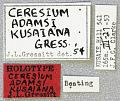 View Ceresium adamsi kusiana Gressitt, 1956 digital asset number 1