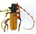 View Tragidion auripenne Casey, 1893 digital asset number 1