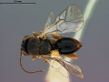 View Synergus oneratus var. coloradensis Gillette, 1896 digital asset number 0