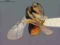View Synergus oneratus var. coloradensis Gillette, 1896 digital asset number 3