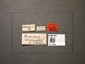 View Andricus congregatus Ashmead, 1897 digital asset number 2