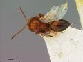 View Callirhytis fructicola (Ashmead, 1896) digital asset number 0
