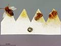View Callirhytis fructicola (Ashmead, 1896) digital asset number 1