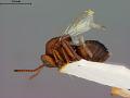View Callirhytis fructicola (Ashmead, 1896) digital asset number 4