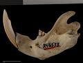 View Cratogeomys castanops excelsus Nelson & Goldman, 1934 digital asset number 4
