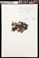 View Cetrariastrum lipidiferum (Hale & M. Wirth) W.L. Culb. & C.F. Culb. digital asset number 0