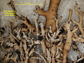 View Bunodophoron melanocarpum (Sw.) Wedin digital asset number 1