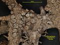 View Biscogniauxia repanda (Fr.) Kuntze digital asset number 2