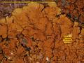 View Caloplaca texana Wetmore & Kärnefelt digital asset number 2