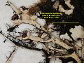 View Cetrariastrum lipidiferum (Hale & M. Wirth) W.L. Culb. & C.F. Culb. digital asset number 2