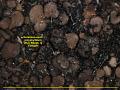 View Dermatocarpon polyphyllizum (Nyl.) Blomb. & Forssell digital asset number 2