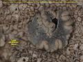 View Dirina catalinariae Hasse digital asset number 2