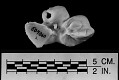 View Mesoplodon perrini Dalebout et al., 2002 digital asset number 13