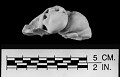 View Mesoplodon perrini Dalebout et al., 2002 digital asset number 15