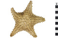 View Red Cushion Sea Star digital asset number 0