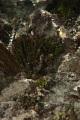 View Halimeda monile (J. Ellis & Sol.) J.V. Lamour. digital asset number 1