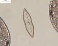 View Mastogloia achnanthoides A. Mann digital asset number 3
