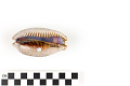 View Little Deer Cowrie, Panamanian Deer Cowrie, Panamanian Deer Cowrie digital asset number 1