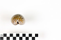 View Little Deer Cowrie, Panamanian Deer Cowrie, Panamanian Deer Cowrie digital asset number 4