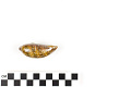 View Little Deer Cowrie, Panamanian Deer Cowrie, Panamanian Deer Cowrie digital asset number 9