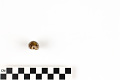 View Little Deer Cowrie, Panamanian Deer Cowrie, Panamanian Deer Cowrie digital asset number 16