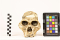 View STS 5, Fossil Hominid digital asset number 5