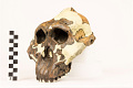 View OH 5, Fossil Hominid digital asset number 6
