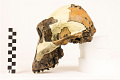 View OH 5, Fossil Hominid digital asset number 4