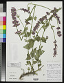 View Agastache mearnsii Wooton & Standl. digital asset number 0