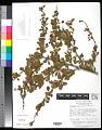 View Berberis papillifera (Franch.) Koehne digital asset number 0