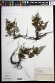 View Abrodictyum sprucei (Baker) Ebihara & Dubuisson digital asset number 0