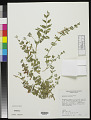 View Tetraclea coulteri A. Gray digital asset number 0