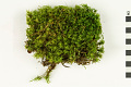 View Waxyleaf Moss, Dicranum Moss digital asset number 0