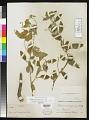 View Solanum tridynamum Dunal digital asset number 0