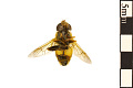 View Flower Fly digital asset number 1