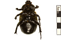 View Hermit Flower Beetle digital asset number 1