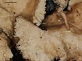 View Platismatia regenerans W.L. Culb. & C.F. Culb. digital asset number 3