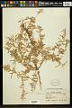 View Oenothera pallida subsp. runcinata (Engelm.) Munz & W.M. Klein digital asset number 0