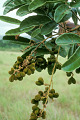 View Cupania rubiginosa (Poir.) Radlk. digital asset number 0