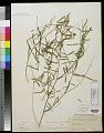 View Tephrosia purpurea (L.) Pers. digital asset number 0