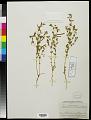 View Acmispon americanus (Nutt.) Rydb. digital asset number 0