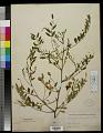 View Sesbania longifolia DC. digital asset number 0