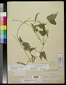 View Phaseolus acutifolius var. latifolius G. F. Freeman digital asset number 0