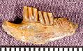 View Parahodomys spelaeus Gidley & Gazin, 1933 digital asset number 1