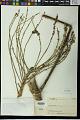 View Schefflera minutiflora Harms digital asset number 0